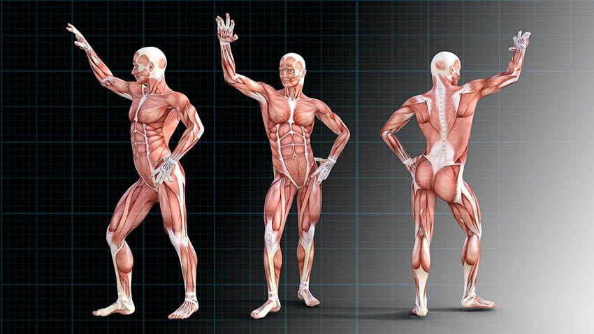 écorché planche anatomique